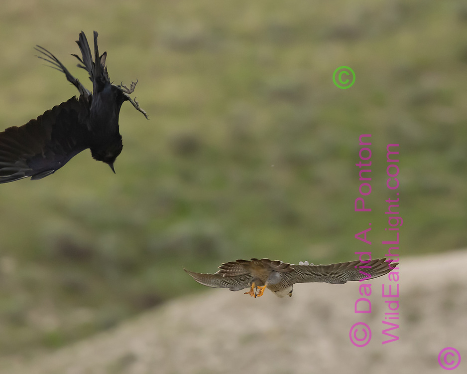 Peregrine falcon passes by raven it is  harassing as the raven recover its flight stability, © David A. Ponton