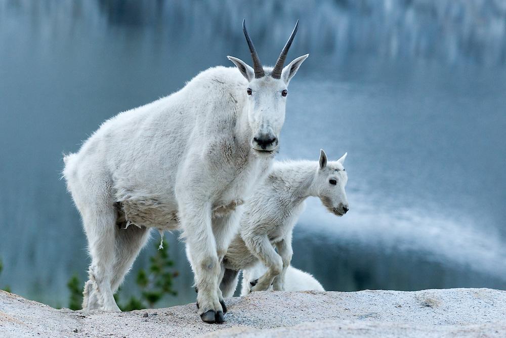 Mountain goat nanny and kids in Oregon's Wallowa Mountains.
