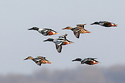 Northern Shoveler Courtship Flight