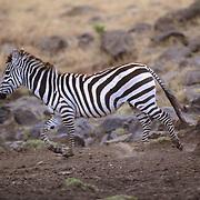 Burchell's Zebra, (Equus burchelli) Adult running. Serengeti Plains.Masai Mara Game Reserve. Kenya. Africa.