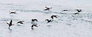 Cormorants (in the bird family Phalacrocoracidae) fly over Harney Channel, San Juan Islands, Washington, USA