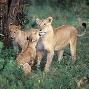 African Lion, (Panthera leo) Sub adults and young cubs playing. Masai Mara Game Reserve. Kenya. Africa.