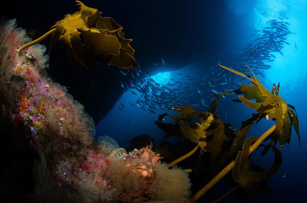 Poor Knights Reef, Northern scorpionfish, Scorpaena cardinalis