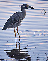 Yellow-crowned Night-Heron (Nyctanassa violacea). Images taken with a Nikon D810a camera and 80-400 mm VR lens.