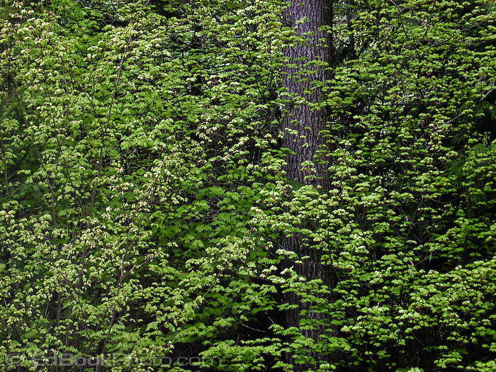 vine maple (acer circinatum) branches filled with abundant leaves in spring at Mount Rainier National Park, Washington, USA