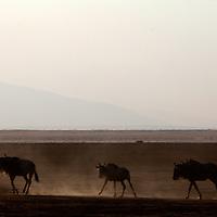 Africa, Kenya, Amboseli. Wildebeest silhouettes in Amboseli.
