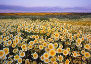 Tidy-tips at Sunrise,<br /> Carrizo Plain National Monument, California