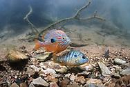 Longear Sunfish Spawning<br /> <br /> Isaac Szabo/Engbretson Underwater Photography