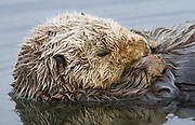 A northern sea otter rests while floating on its back.