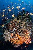 Soft Corals, Feather Stars, and Anthias in a fabulous underwater fireworks display<br /> <br /> Shot in Indonesia