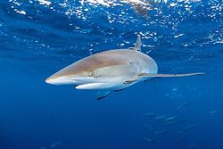 silky shark with hook on dorsal fin, Carcharhinus falciformis, and school of yellowfin tunas, Big Island, Hawaii, Pacific Ocean