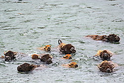 Herd of Bison swimming the Yellowstone River in the Hayden Valley of Yellowstone National Park