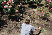 A volunteer removes weeds from the MHS rose garden during the Earth Day clean up activities at Milpitas High School in Milpitas, California, on April 23, 2016. (Stan Olszewski/SOSKIphoto)