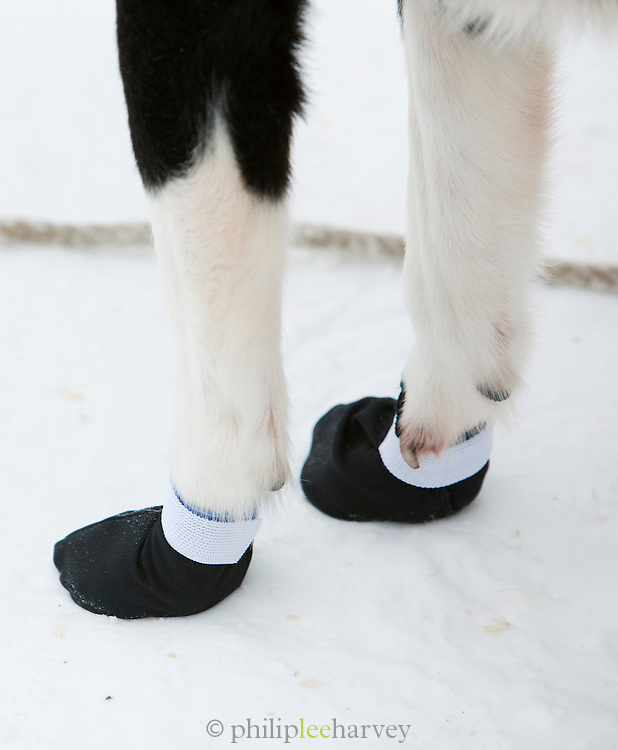 Protective socks over the paws of an Alaskan husky in Karasjok, Finnmark region, northern Norway