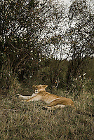 A sleepy lioness in the Masai Mara National Park, Kenya