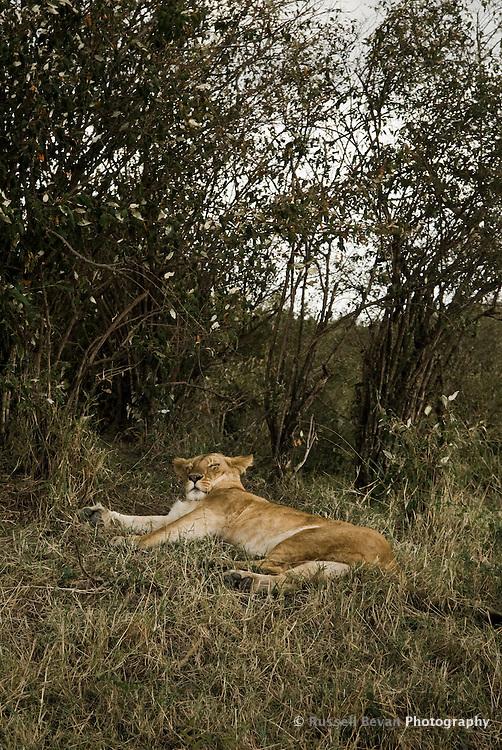 A sleepy lioness in the Masai Mara National Park, Kenya