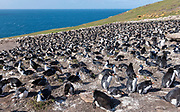 Colonies of southern rockhopper penguins mixed with blue-eyed shags at Saunders Island, the Falklands.