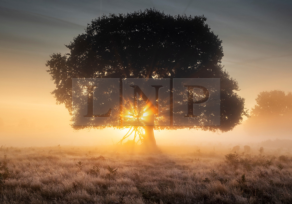 © Licensed to London News Pictures. 03/10/2019. London, UK. Deer feed (R) as the sun rises over a frosty Bushy Park in south west London. A cold clear day is expected in parts of the UK today. Photo credit: Peter Macdiarmid/LNP