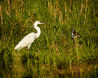 Little Egret and White-headed Lapwing . Zambezi River Wildlife Tour. Image taken with a Nikon 1 V3 camera and  70-300 mm VR lens