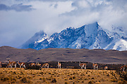 Guanaco herd in Parque Nacional Torres del Paine, Chile, South America