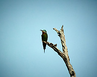 Swallow-tailed Bee-eater. Chobe river, Botswana.  Image taken with a Nikon 1 V3 camera and  70-300 mm VR lens.