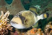 Titan Triggerfish.(Balistoides vindescens).Lembeh Straits,Indonesia