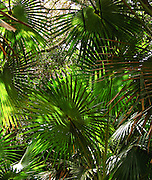 """Visit native palm forest in coastal Royal National Park between the towns of Loftus and Stanwell Park, 29 km south of Sydney, in New South Wales, Australia. This reserve was first in the world to use the term """"National Park."""" It was established in 1879, making it Australia's oldest and the world's second-oldest national park (after Yellowstone, USA)."""