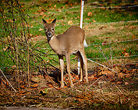 Young doe wondering why I am inside the electric fence pointing a big lens at her. Image taken with a Fuji X-H1 camera and 200 mm f/2 OIS lens + 1.4x teleconverter (ISO 200, 280 mm, f/5.6, 1/750 sec).