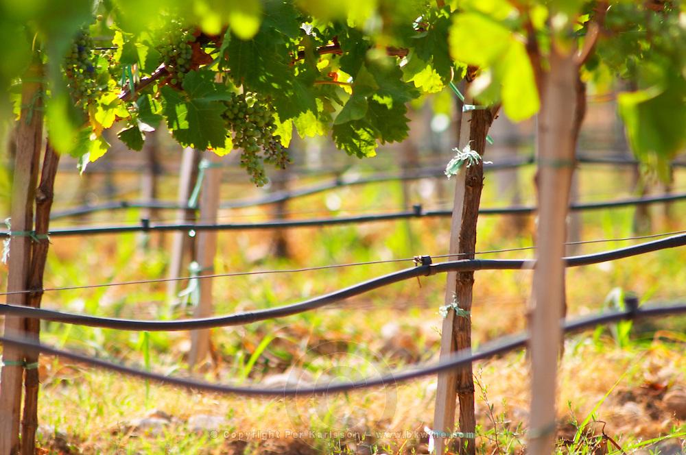 Vines equipped with black rubber or plastic tubes for artificial irrigation watering. Vranac grape variety. Vineyard on the plain near Mostar city. Hercegovina Vino, Mostar. Federation Bosne i Hercegovine. Bosnia Herzegovina, Europe.