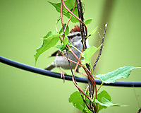 Chipping Sparrow. Image taken with a Nikon D5 camera and 600 mm f/4 VR lens