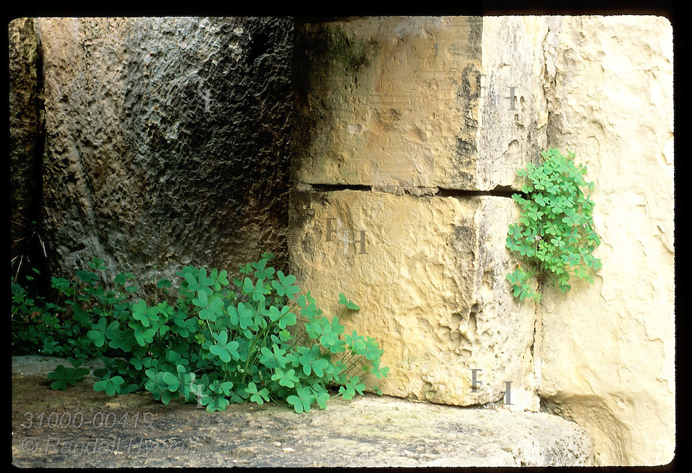 Rock shelf carved from limestone is accented by fresh clover in January; Mnajdra temple. Malta