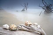 Fog on boneyard beach with sea shells at Botany Bay in Edisto Island, South Carolina. Rising tides along the coastline are eroding the beach slowly submerging the forest.