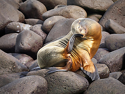 A young Galapagos Sealion scratches its nose with a flipper on a rocky shoreline.