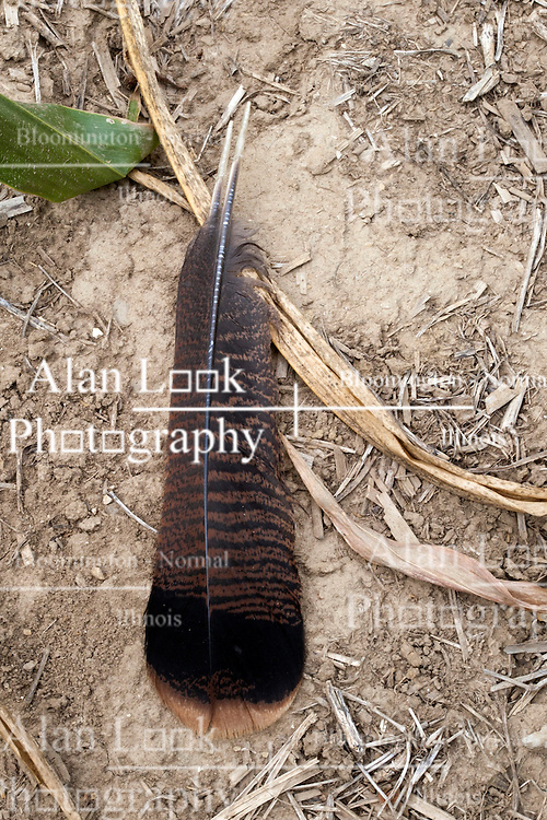 22 July 2012:   Shot near Lake Bloomington in McLean County of Illinois, a pair of feathers from a Wild Turkey are found in between rows of corn suffering from the drought of 2012