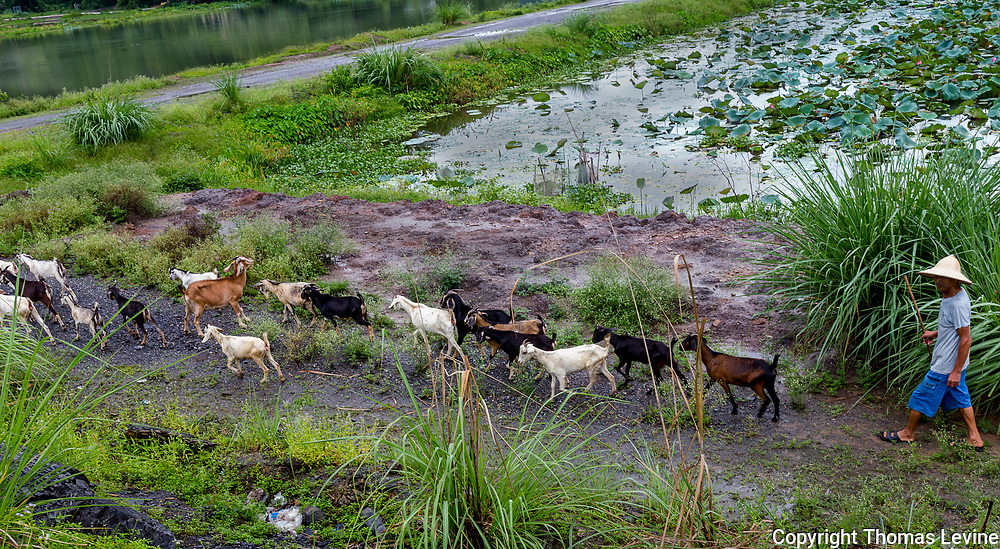 Goat Herder with flock going down a small road in Ninh Binh area around grass and a small lake.