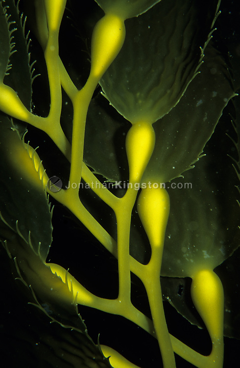 Close up of giant kelp frawns, Macrocystis Pyrifera.