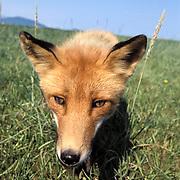 Red Fox, (Vulpus fulva)  Alaska.