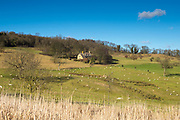 Sheep grazing in rural scene of tranquil farm landscape by Snowshill in The Cotswolds, England