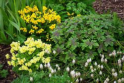 Geranium x oxonianum 'Catherine Deneuve' with Primula veris hose-in-hose, Muscari 'Venus' and the buds of Iris 'Blue Denim'