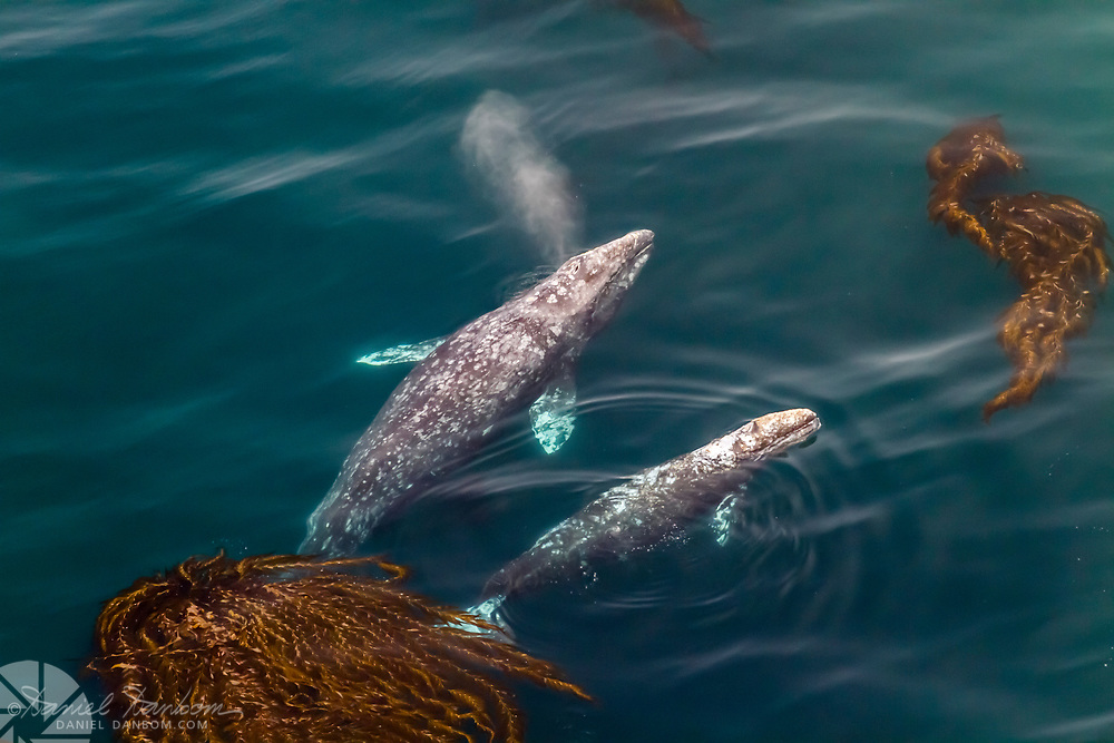Gray whale and calf among the kelp strands along the Big Sur Coast, Highway One, not a drone shot