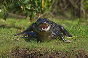 Jacare Caiman or Paraguay Caiman (Caiman yacare) in the Pantanal, Mato Grosso do Sul, Brazil.