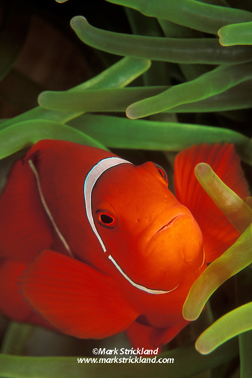 A Spine-Cheek Anemonefish, Premnas biaculeatus, peeks out from among tentacles of its host sea anemone. Milne Bay, Papua New Guinea, Pacific Ocean