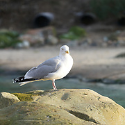 Seagull as part of the stocktake at the London zoo on the 3rd January 2017,UK. Photo by See li/Picture Capital
