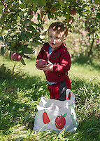 Jeffrey Matthew picks a Cortland apple at Smith Orchard in Belmont on Sunday afternoon.  (Karen Bobotas/for the Laconia Daily Sun)