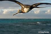 immature great frigatebird, 'iwa, or iwa bird, Fregata minor, flying over lagoon, East Island, French Frigate Shoals, Papahanaumokuakea Marine National Monument, Northwest Hawaiian Islands, Hawaii ( Central Pacific Ocean )