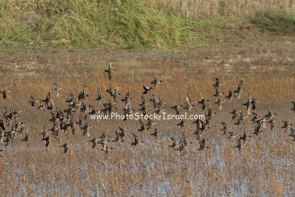 Flock of common teal (Anas crecca) in flight. This species of dabbling duck breeds in sheltered wetlands in northern Eurasia. It feeds by dabbling for plant food. In winter it migrates in large flocks to Africa and South Asia. It can grow up to 38 centimetres in length, with a wingspan around 53-59 centimetres. Photographed wintering in Israel