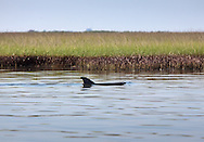 5/26/2010  A dolphin swims by oil in the grass on Mandcant Island in  Barrataria Bay. The water in Barrataria Bay has an oil sheen caused by a mixture of dispersant mixed with oil.