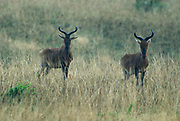 Swayne's Hartebeest, Alceluphus buselaphus swaynei, Senkele Wildlife Sanctuary, Ethiopia, Endemic, Endangered, in rain