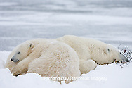 01874-107.15 Polar Bears (Ursus maritimus) mother and cub Churchill, MB Canada