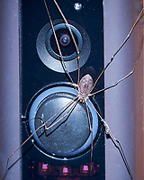 Daddy Longlegs (Harvestmen) on my Doorbell. Image taken with a Fuji X-T3 camera and 80 mm f/2.8 macro lens